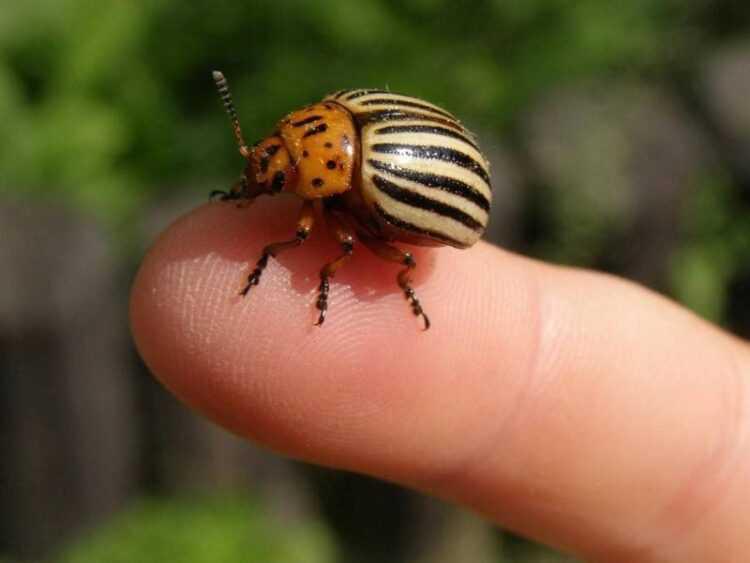 Колорадский жук: описание, образ жизни, где обитают, чем питаются, сколько живут, интересные факты, фото личинок