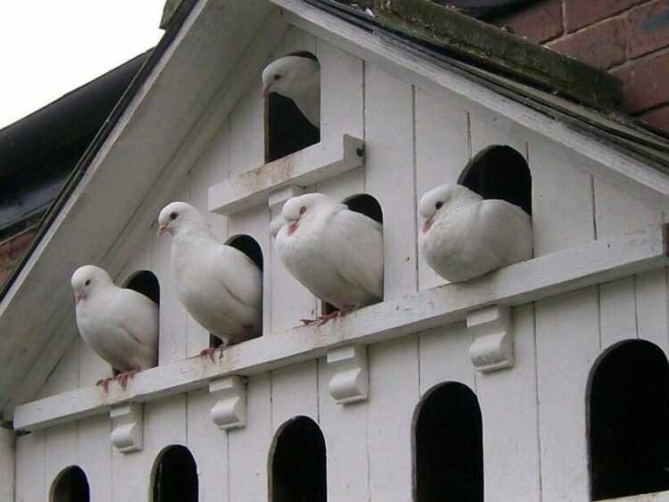 Домашние голуби: виды, правила содержания, ухода и лечения в домашних условиях
