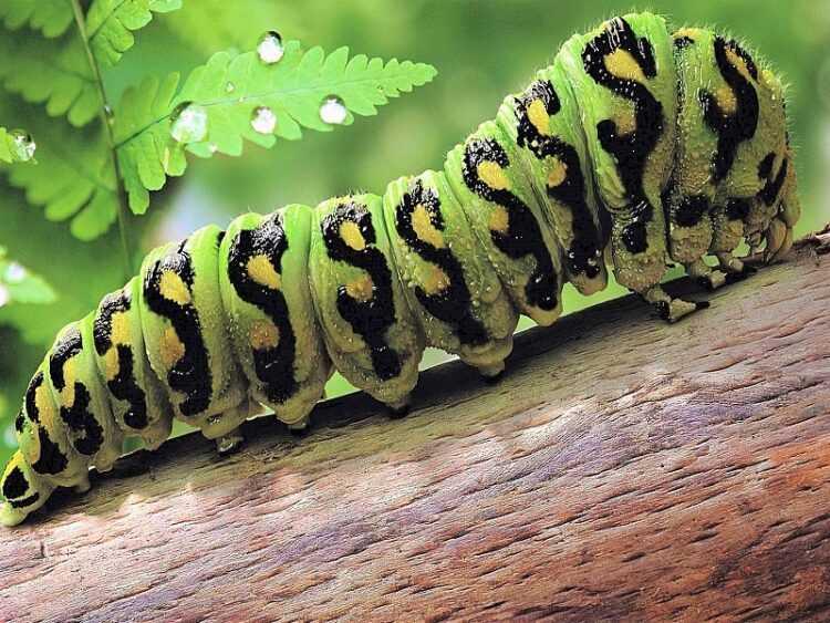 Гусеница: виды, фото и названия, интересные факты, где обитают, чем питаются, сколько живут, превращение в бабочку,