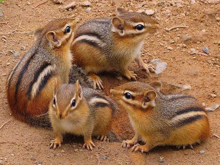 Бурундуки: все виды и описание животного, что едят, сколько живут, враги, размножение, интересные факты (115 фото)