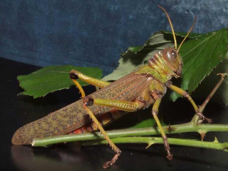 Саранча: интересные факты о насекомом, фото, где обитают, сколько живут, какова роль в дикой природе