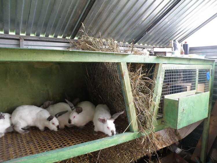 Домашние кролики: разведение, правила ухода, описание пород + 110 фото