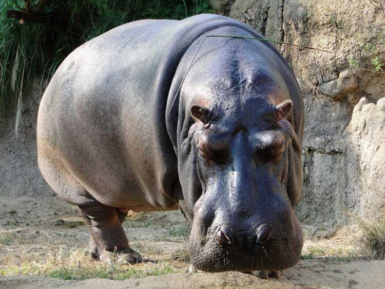 Бегемот (гиппопотам): виды, описание животного, где живут и чем питаются, опасны ли для человека