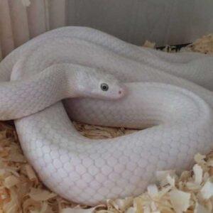 Белая змея (140 Фото): характеристика, какая среда обитания, чем питаются, виды, как отличить ядовитую змею белого цвета