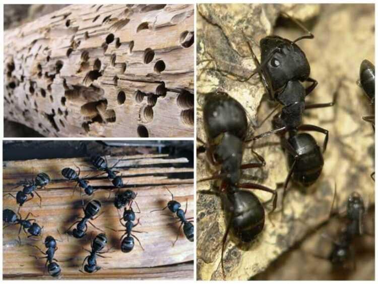 Муравьи: описание насекомого, виды с фото, чем питаются, сколько живут. интересные факты