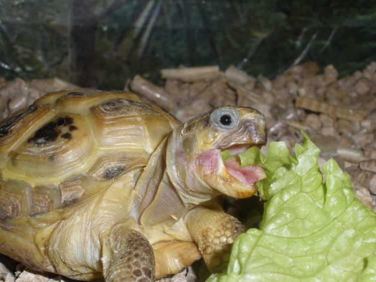 Чем кормить черепах: советы и описание правильного рациона питания в домашних условиях, сухопутных и водных черепашек