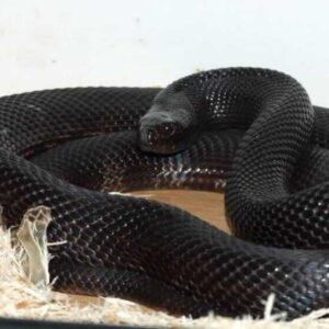 Черная змея: какой у нее жизненный цикл, фото и описание, опасные змеи, какой ареал и чем питаются