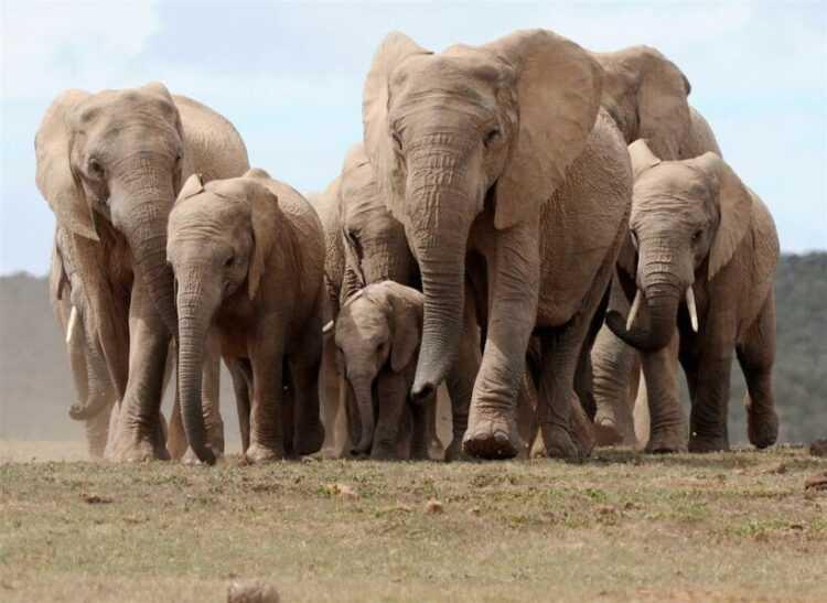 Слон: описание и виды одно из самых крупных животных в мире, его повадки и поведение в дикой природе (140 фото)