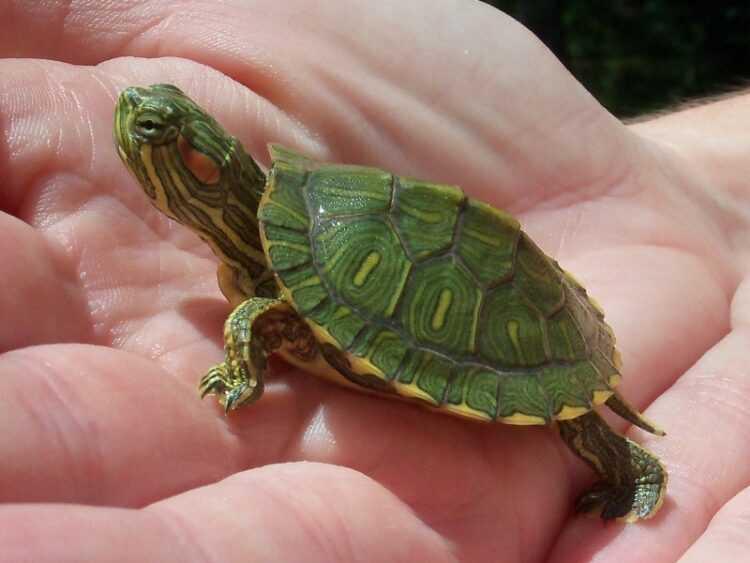 Домашние черепахи: как выбрать, виды, особенности содержания, правила ухода, сколько живут, что едят