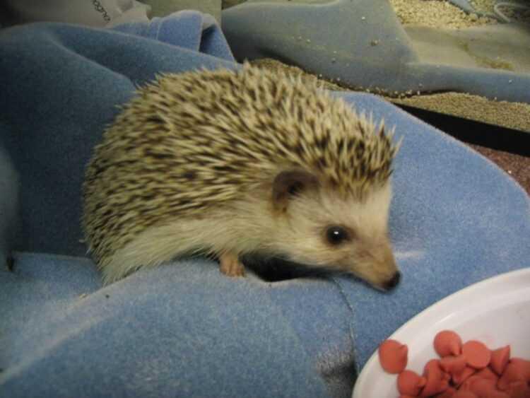 Домашний еж: правила содержания в домашних условиях, советы при выборе животного (120 фото)