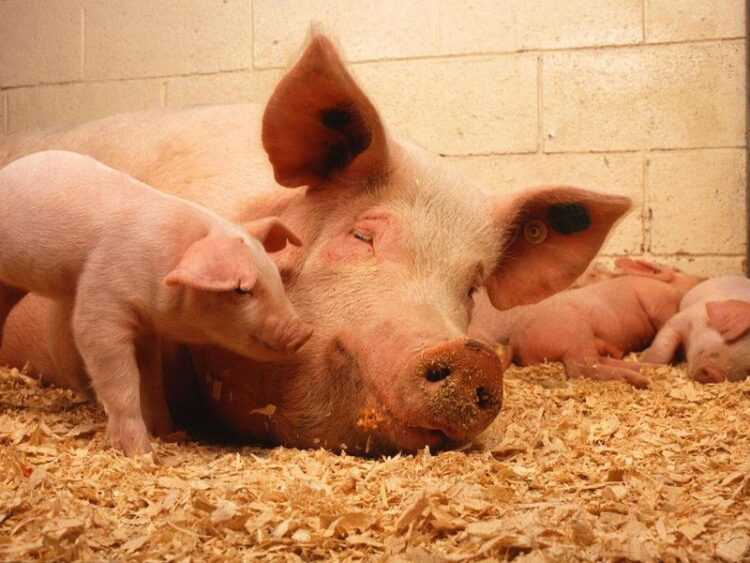 Домашняя свинья: описание, как содержать и ухаживать в домашних условиях. Породы, размеры, что едят, повадки (115 фото)