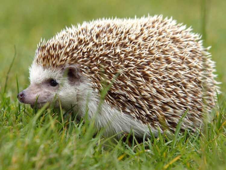 Ежик: образ жизни в дикой природе, описание животного, чем питаются, сколько живут, фото