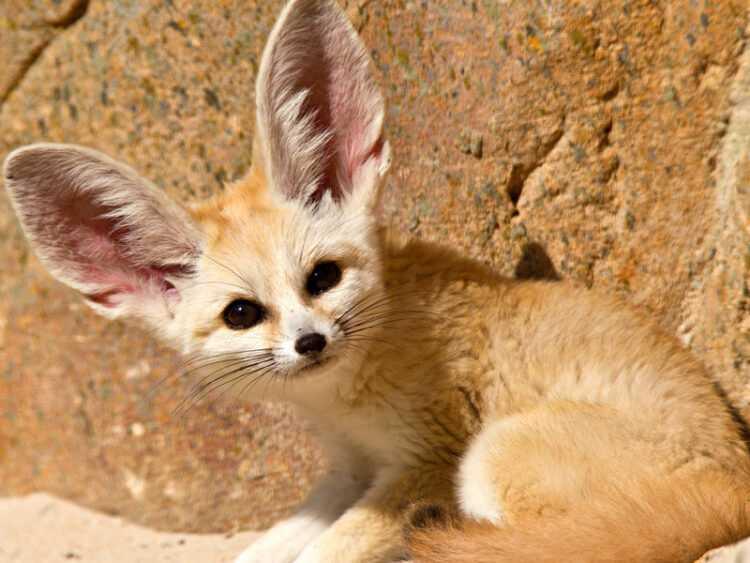 Фенек лиса — где обитает, внешний вид, чем питается, интересные факты и образ жизни пустынной лисицы в природе