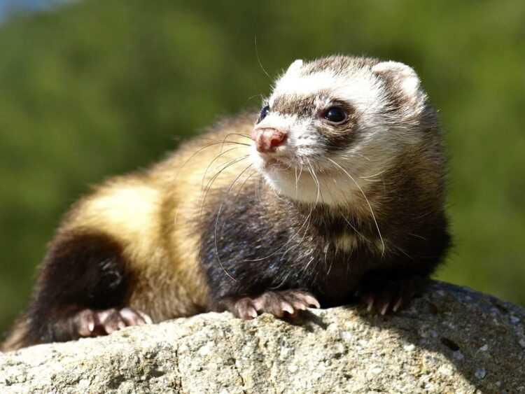 Хорек: описание животного, фото, интересные факты, виды, окрасы, что едят, враги, размножение, сколько живут