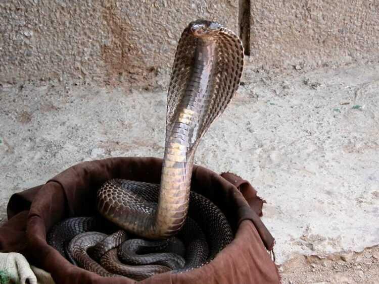 Индийские змеи: все виды и особенности, размеры, как выглядят, фото, повадки, как отличить
