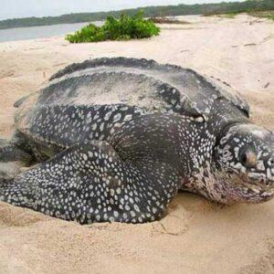 Кожистая черепаха: редкое животное из красной книги, фото, образ жизни черепах, как питается и размножается