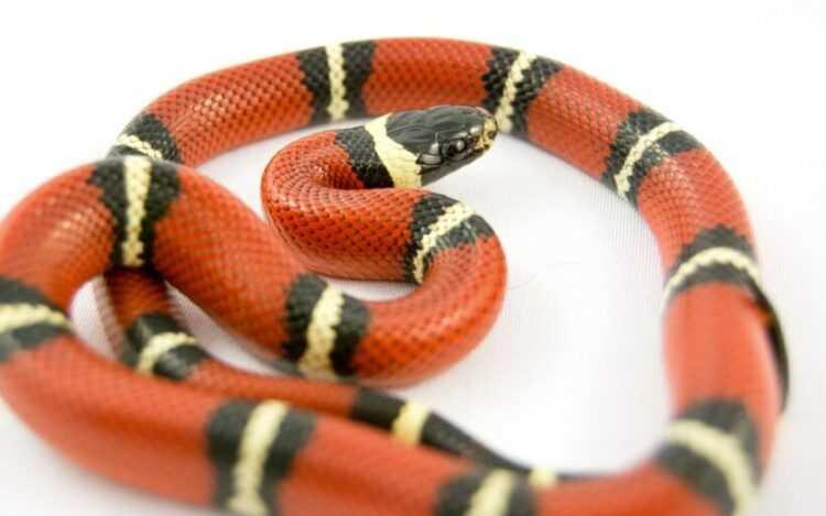 Красная змея: описание, виды, как отличить, внешний вид, размеры, повадки, в чем опасность, что едят, ареал