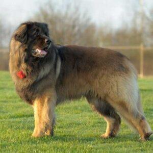 Леонбергер: все о породе собак, ее характер, как содержать в домашних условиях, советы по выбору щенка