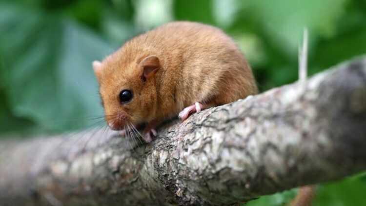 Лесная соня (Dryomys nitedula): внешний вид, среда обитания, чем питаются, фото, интересные факты, повадки
