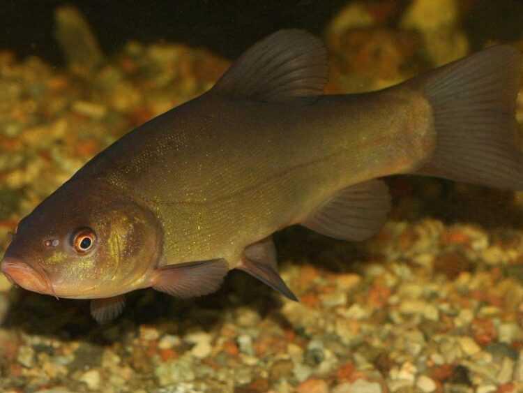 Линь — описание рыбы, образ жизни, ее рацион питания, полезные и опасные свойства линя, ловля и разведение (80 фото)
