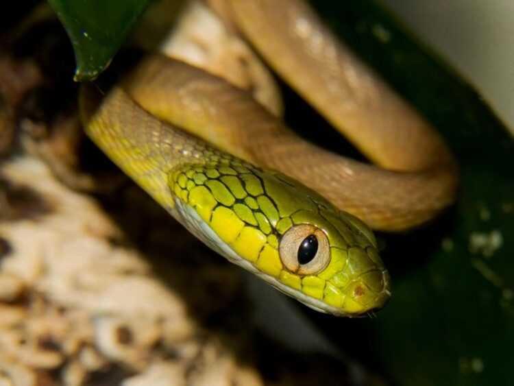 Маленькие змеи: фото, виды, где обитают, чем питаются, размеры, окрас, как отличить ядовитую змею от безопасной