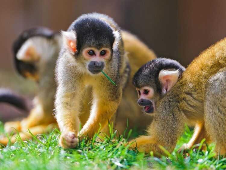 Обезьяна: описание животного, фото, повадки, образ жизни, интересные факты, ареал обитания в дикой природе
