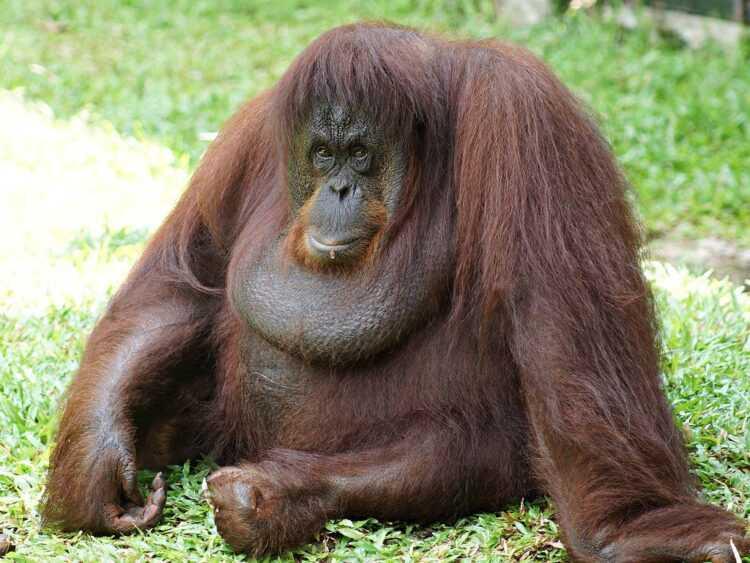 Орангутан (Pongo): фото, виды, интересные факты, где обитают в дикой природе, сколько живут