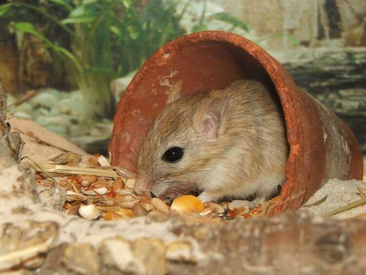 Песчанка (100 фото): ареал обитания, как выглядит, размеры, что едят, сколько живут, враги, интересные факты