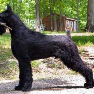 Ризеншнауцер: все о собаке, особенности содержания в домашних условиях, одна из самых беспроблемных собак, фото