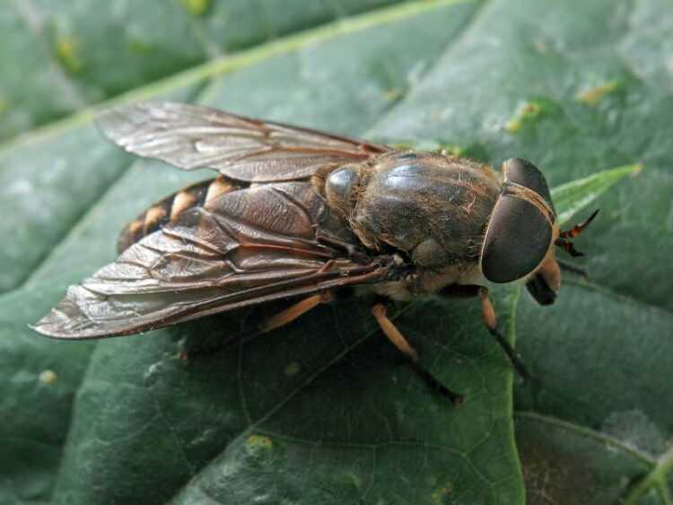 Слепень (Tabanidae): виды, названия, как выглядит, роль в дикой природе, размеры, фото, вред и последствия укуса