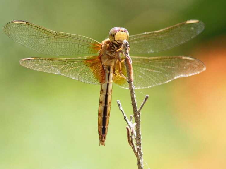 Стрекоза: фото, где обитают, что едят, описание, враги, размножение, как выглядит, размеры, роль в природе