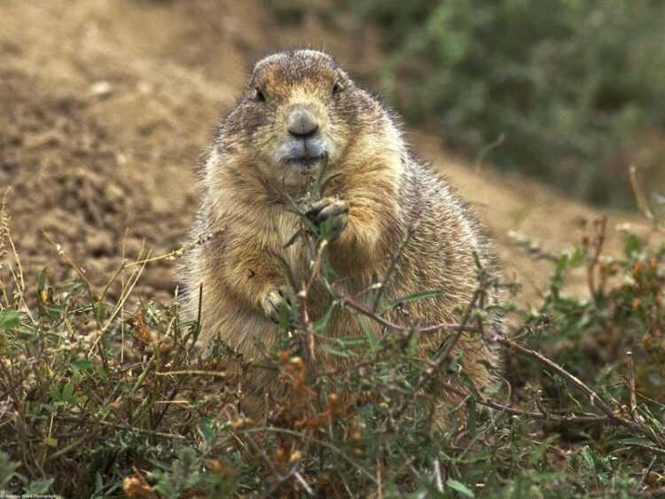 Сурки (Marmota): интересные факты, ареал обитания, как выглядит, окрас, размеры, фото, виды