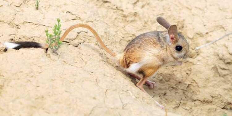 Животное тушканчик (лат. Dipodidae): интересные факты, описание, где обитают, чем питается, сколько живут, размеры, враги, фото
