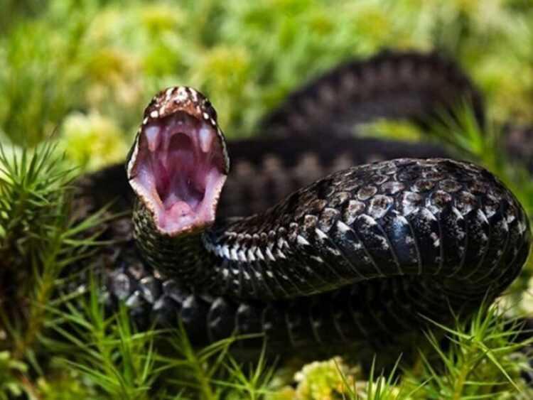 Укусы змей: чем опасны, что делать, как отличить ядовитую змею от безопасной, фото, интересные факты