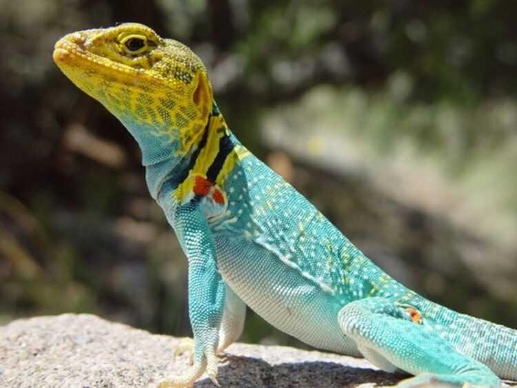 Виды ящериц с названием, фото и описанием. Интересные факты, популяция, ареал обитания
