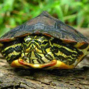 Водная черепаха: содержание в домашних условиях, сколько они стоят, как часто их надо чистить, как ухаживать