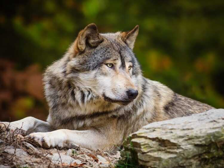 Волк — описанием животного от А до Я. Самые интересные факты, фото, где живут, сколько живут, чем питаются, размеры, характер, окрас