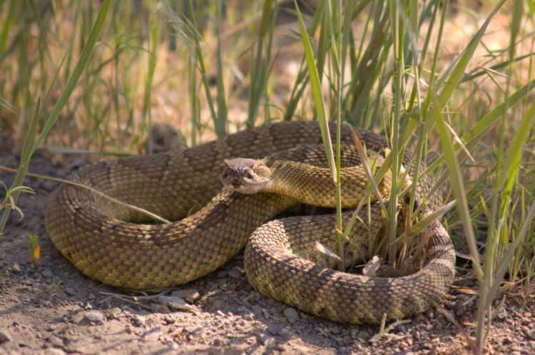 Ядовитые змеи: в чем опасность для человека, как отличить, ареал обитания, повадки, виды, фото