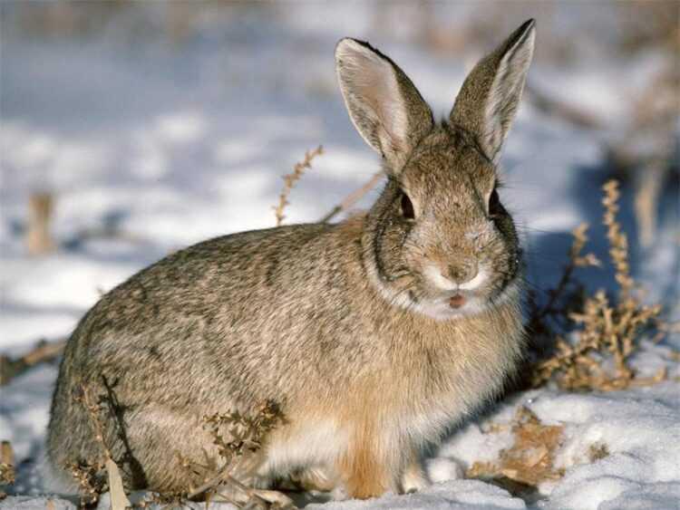 Заяц (90 фото) — интересные факты, описание животного, места их обитания, краткая информация о видах, и чем отличается от кролика
