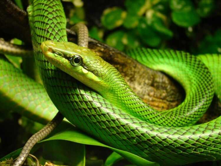 Зеленая змея: разновидности, как размножаются, чем питаются, где обитают, опасен ли укус зеленой мамбы (140 фото)