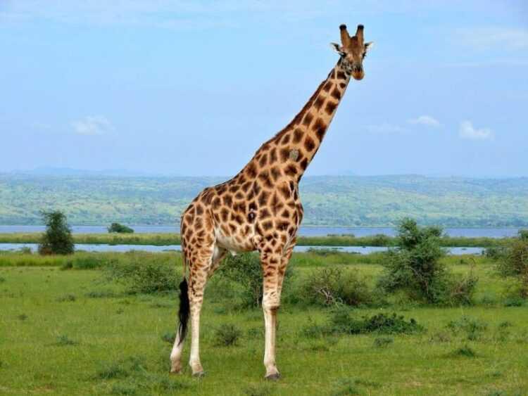 Жираф: описание дикого животного, ареал обитания, чем питается, враги, размножение, сколько живут (120 фото)