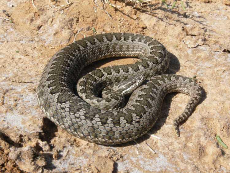 Змеи Крыма: полный обзор ядовитых и неопасных змей. Фото, названия, виды, как отличить