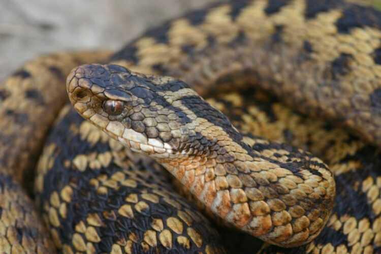 Змея гадюка: внешний вид, как отличить, где живет, чем питается, повадки, характер, фото