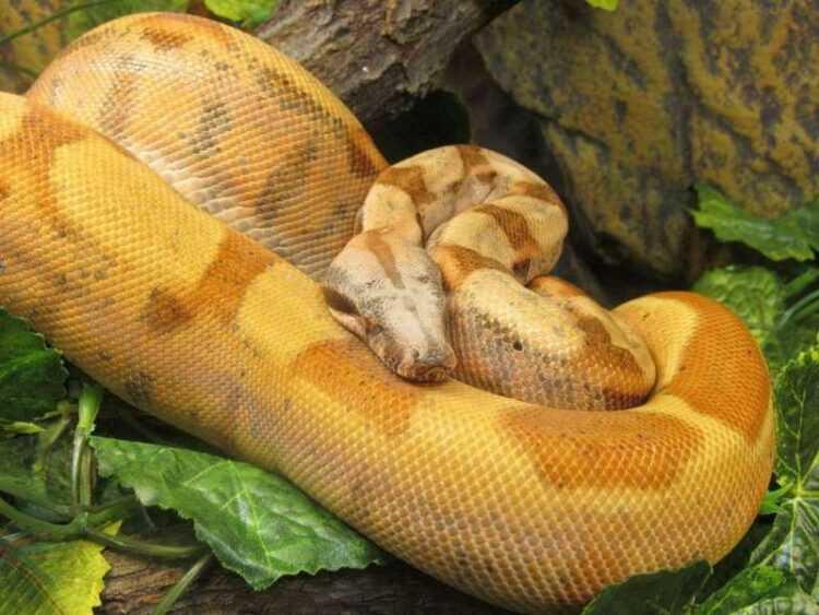 Змея удав: особенности, виды, окрас, повадки, как выглядит, размеры, в чем опасность, как отличить, что едят, сколько живут