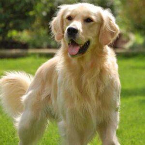 Золотистый ретривер: характеристика породы, особенности разведения, характер собаки, содержание в домашних условиях (110 фото)